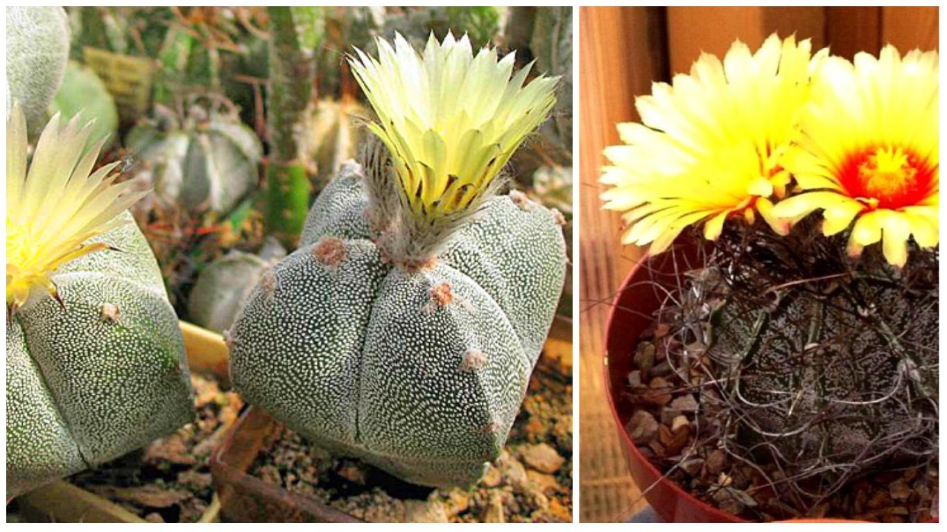 Цветок как кактус с листьями название