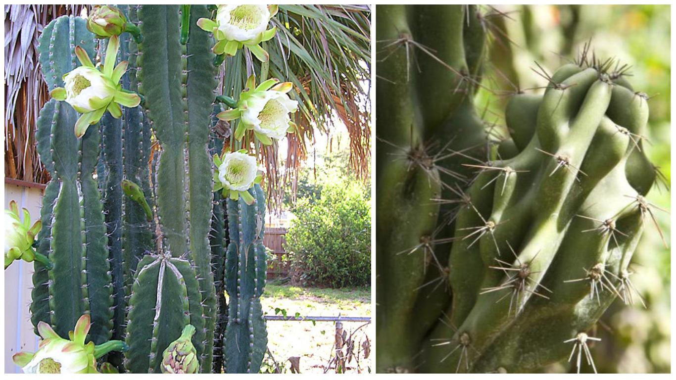 Кактусы фото в виде цветка