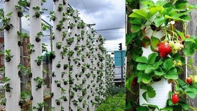Выращивания клубники