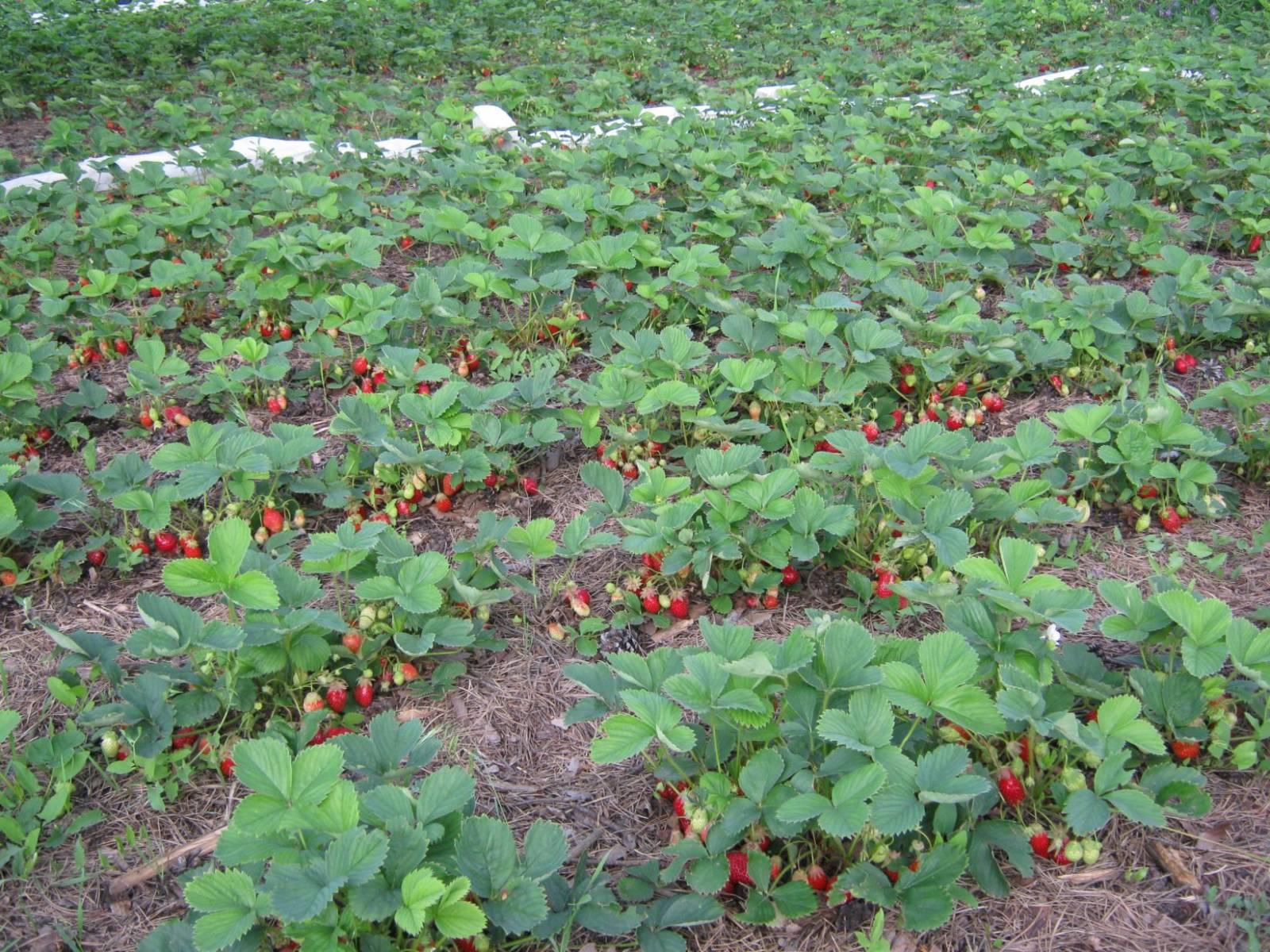 скачать руководство по выращиванию клубники в теплицах