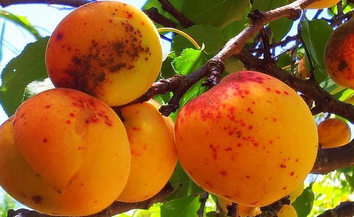 болезни абрикоса и борьба с ними фото
