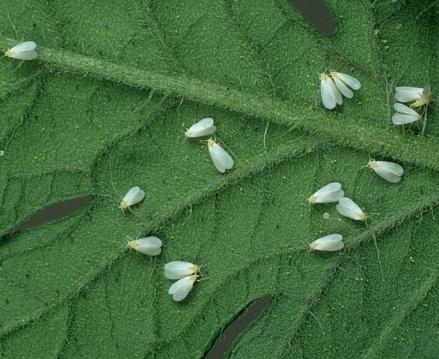 Признаки вредителей на рассаде