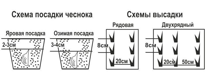 Схема посадки чеснока под зиму фото 475