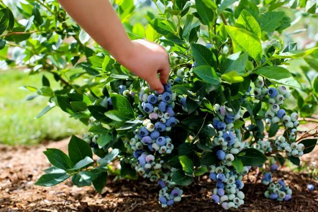 Производственное выращивание черники 100