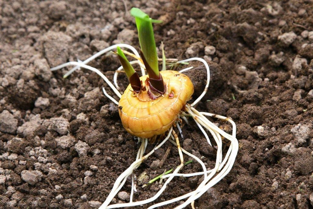 Можно ли гладиолусы сажать семенами 86