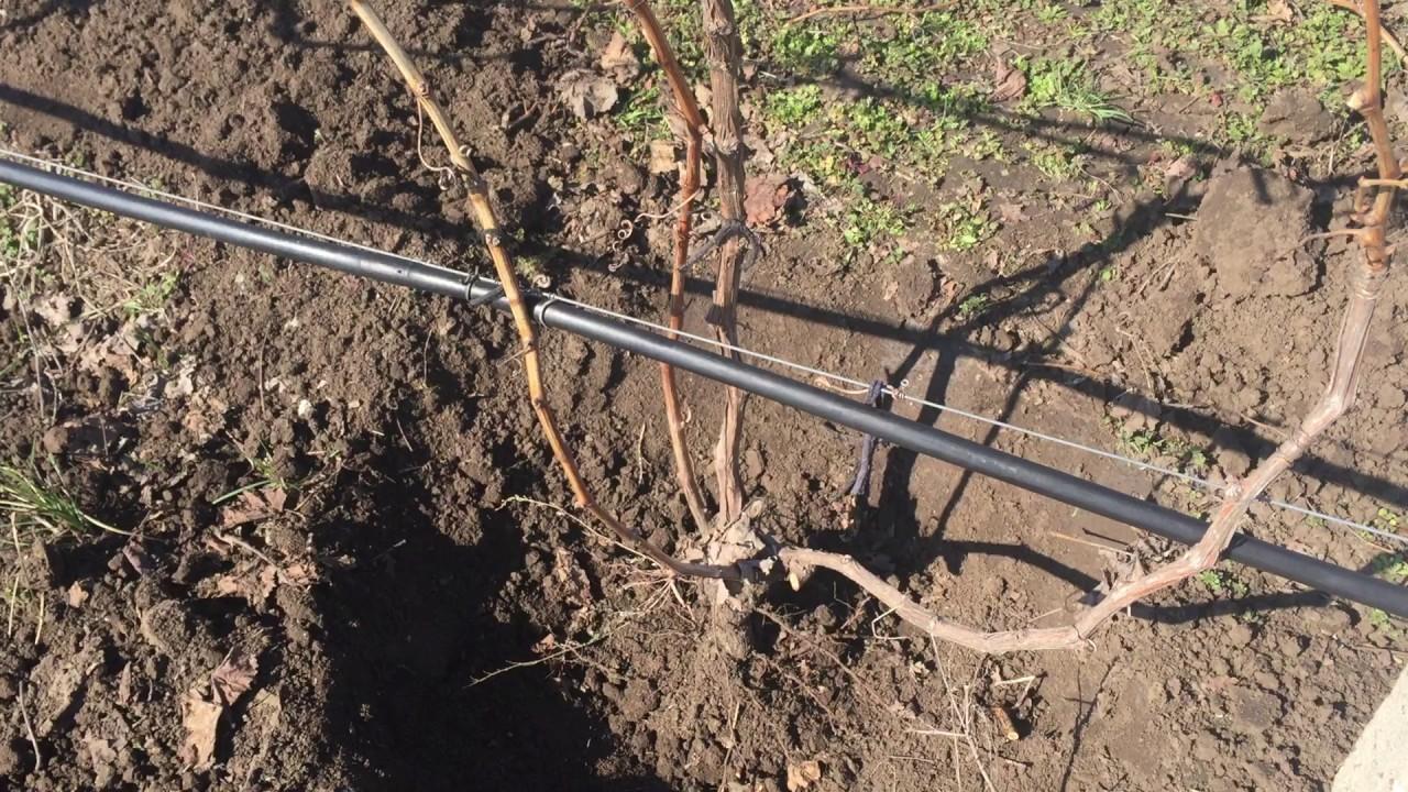 катаровка винограда