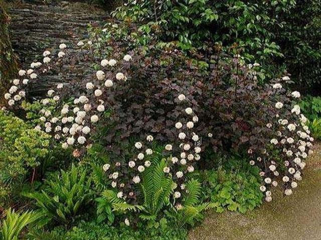 пузыреплодник в саду