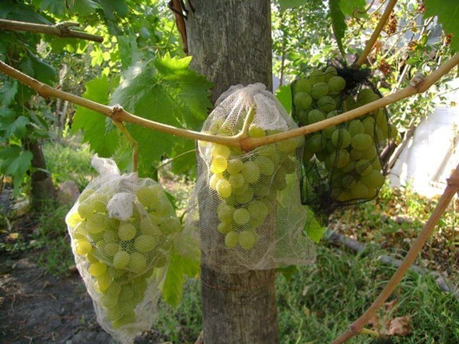 виноград:защита от ос