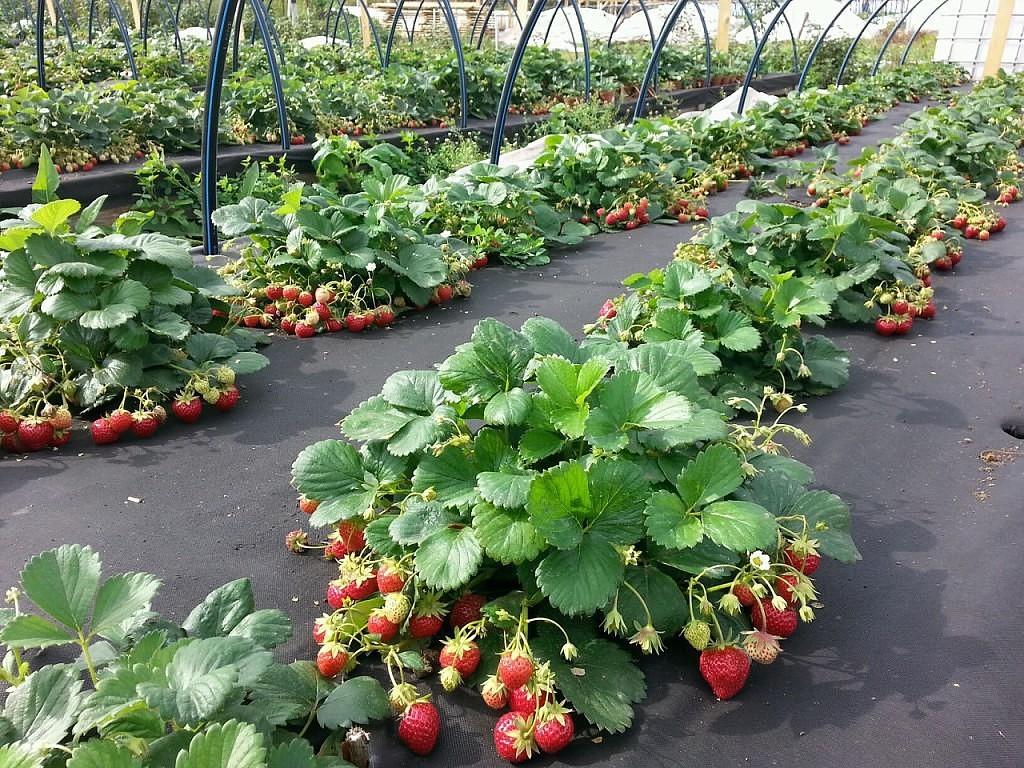 Виктория технология выращивания 96